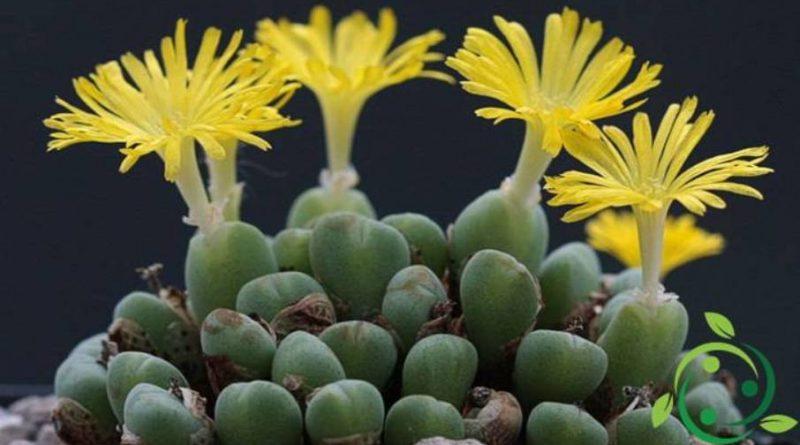 Come coltivare i Conophytum
