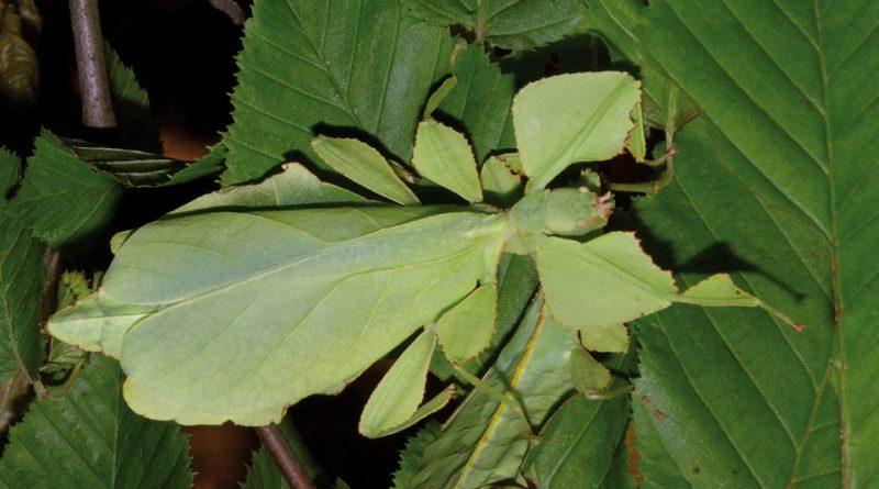 Phyllium giganteum