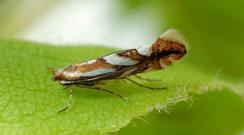 Phyllonorycter blancardella