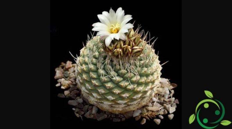 Come coltivare lo Strombocactus