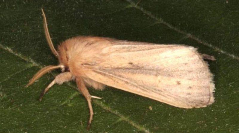 Sesamia nonagrioides