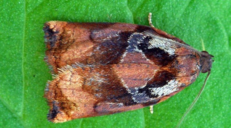 Archips podanus