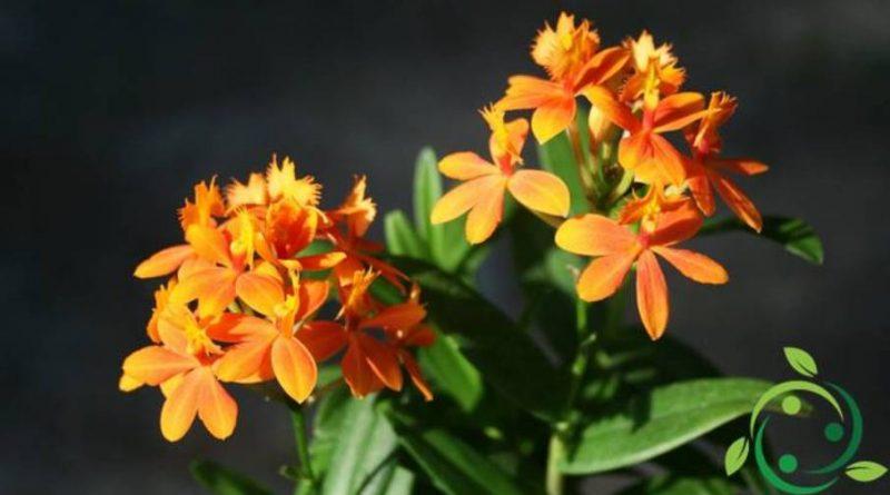 Come coltivare le Epidendrum