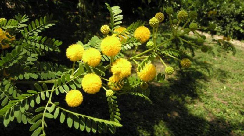 Acacia farnesiana