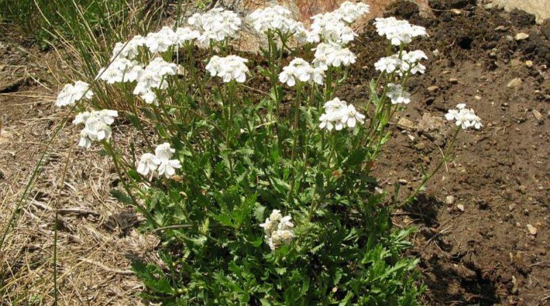 Achillea erba-rota
