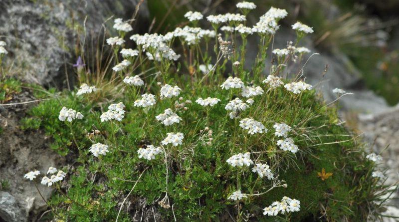 Achillea erba-rotta subsp. moschata