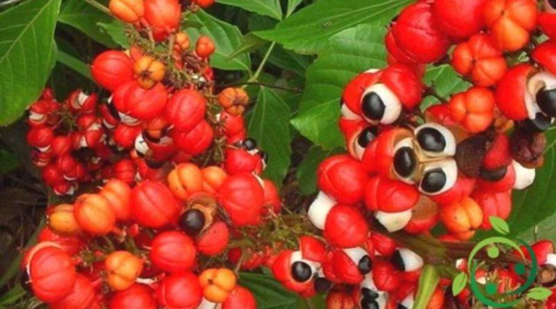 Come coltivare il Guaranà