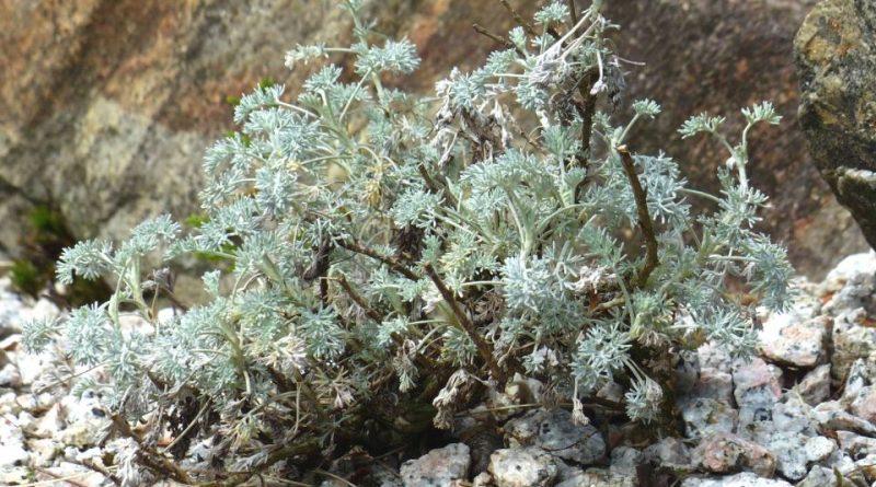 Artemisia vallesiaca