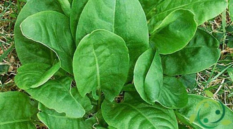Come coltivare l'Acetosa
