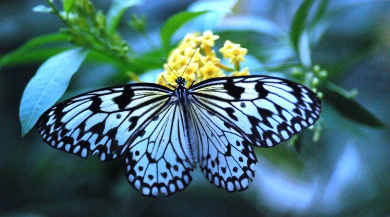 Le più belle farfalle del mondo