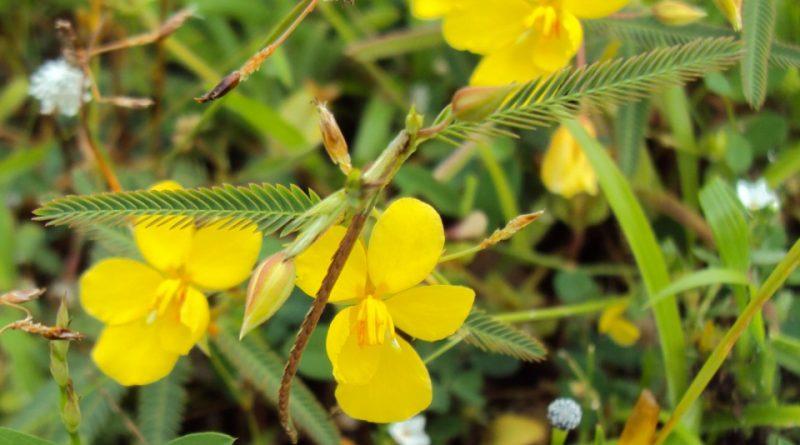 Cassia aldabrensis