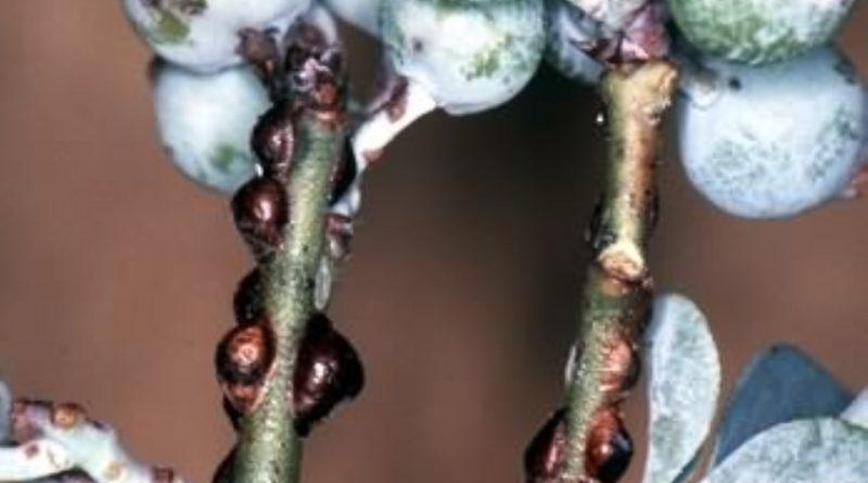 Eulecanium coryli