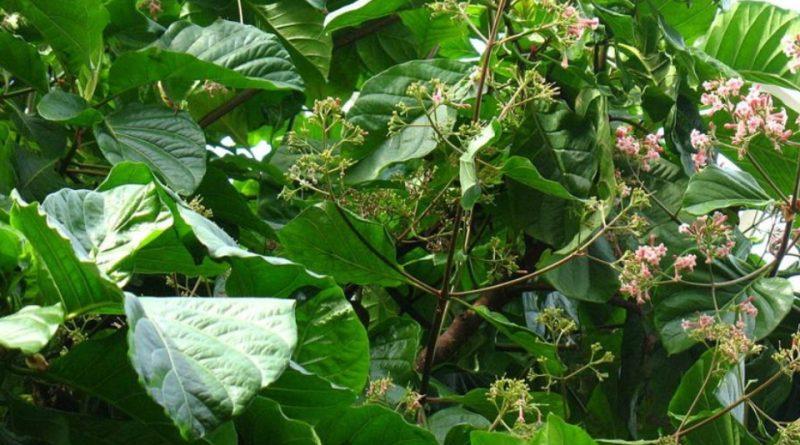 Cinchona lancifolia