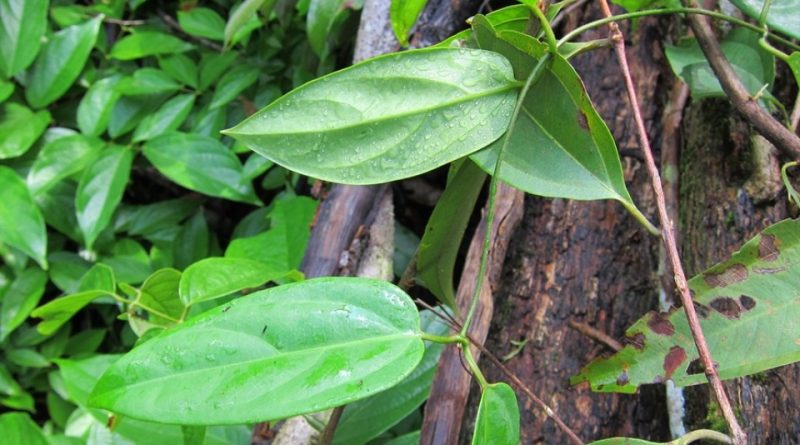 Combretum sundaicum