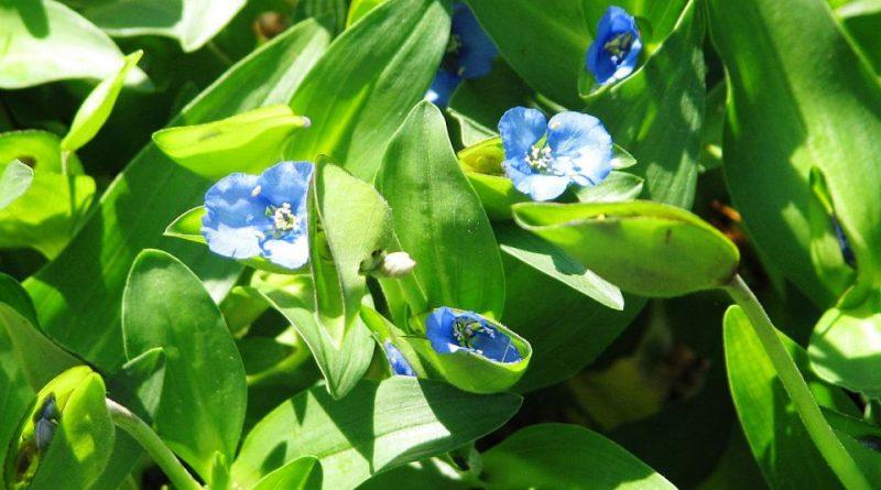 Commelina tuberosa