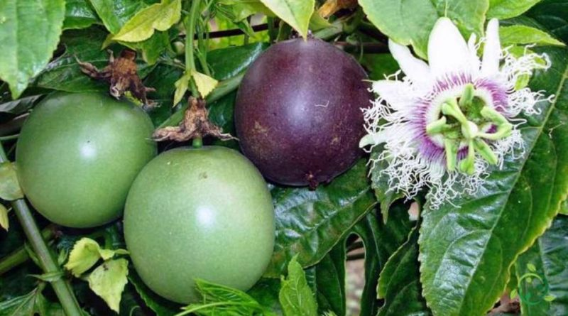 Come si propaga la Passiflora