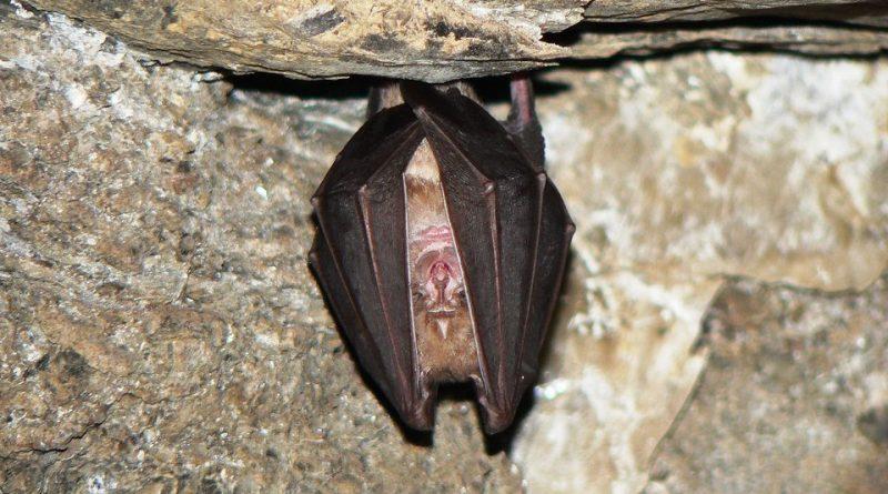 Rhinolophus ferrumequinum