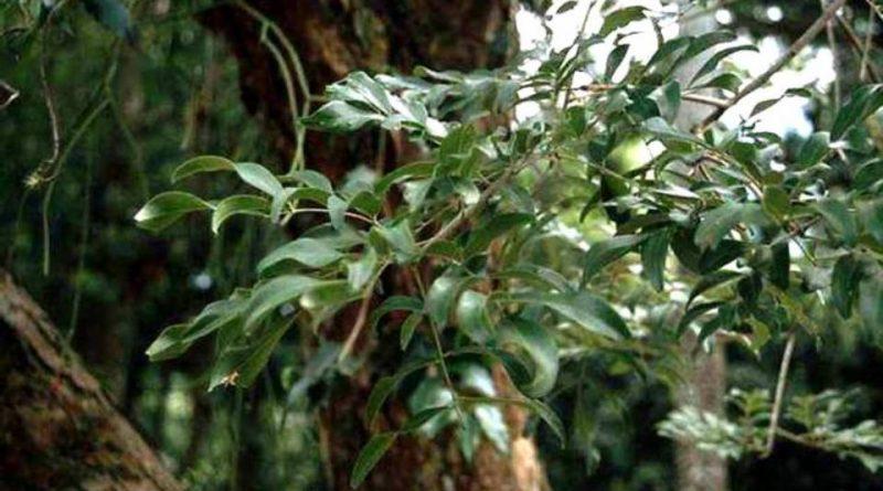 Dicypellium caryophyllatum