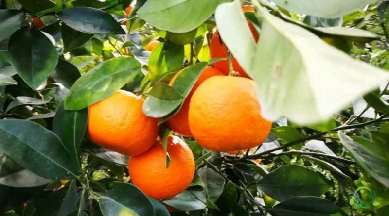 Come si pota l'Arancio amaro