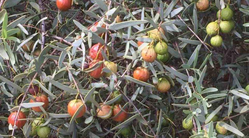Santalum spicatum