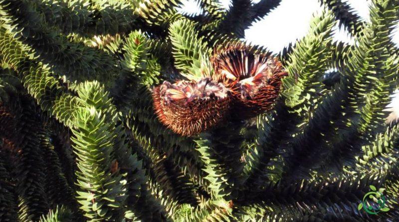 Come si coltiva l'Araucaria del Cile