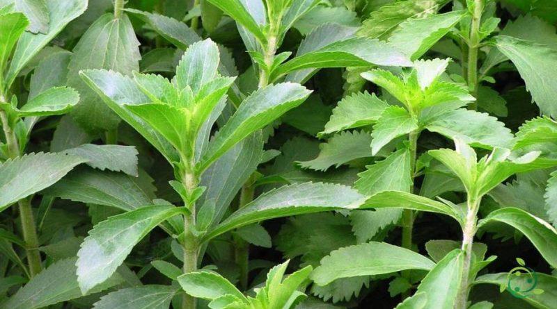 Come si coltiva la Stevia