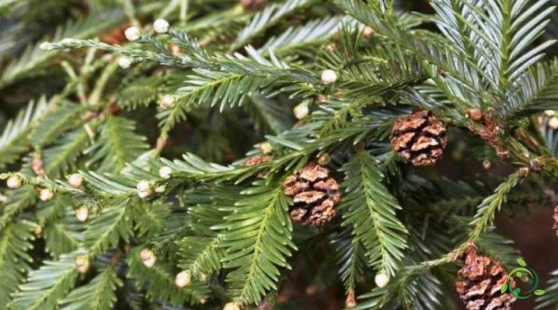 Come si coltiva la Sequoia sempreverde