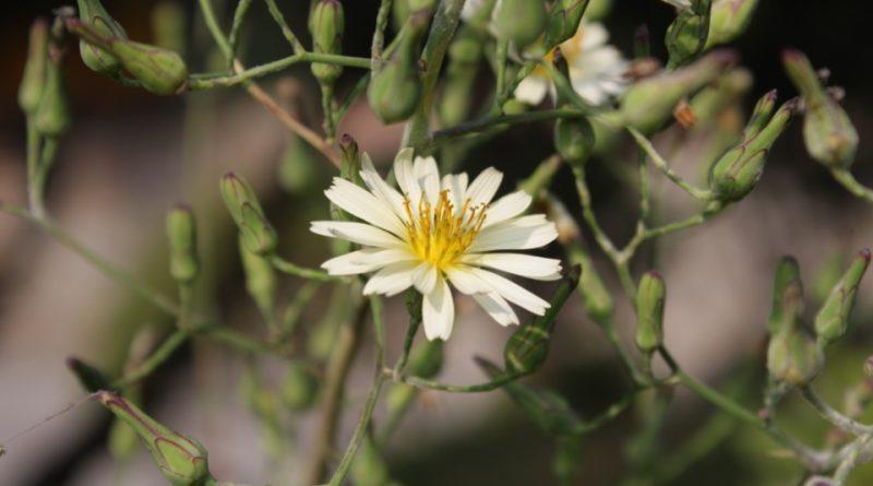 Lactuca indica