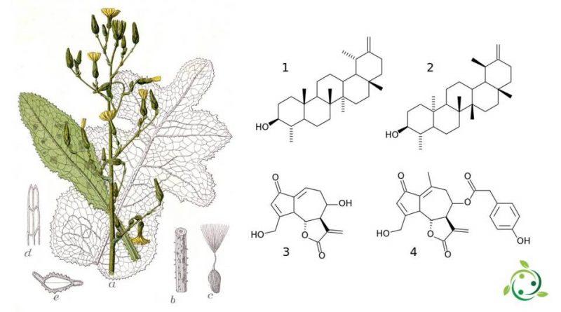 Lactucarium