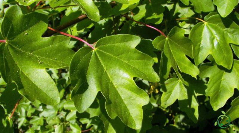 Come si coltiva l'Acero campestre