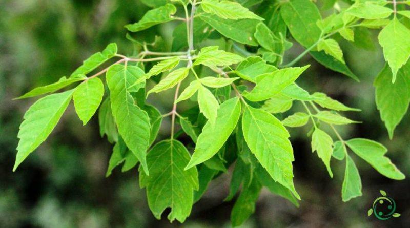 Come si coltiva l'Acero negundo