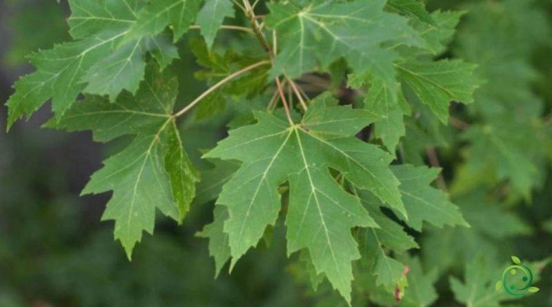 Come si coltiva l'Acero saccarino