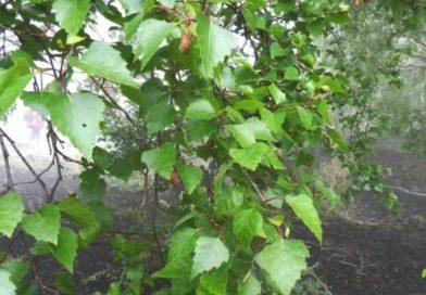 Come si coltiva la Betulla dell'Etna