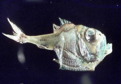 Argyropelecus hemigymnus