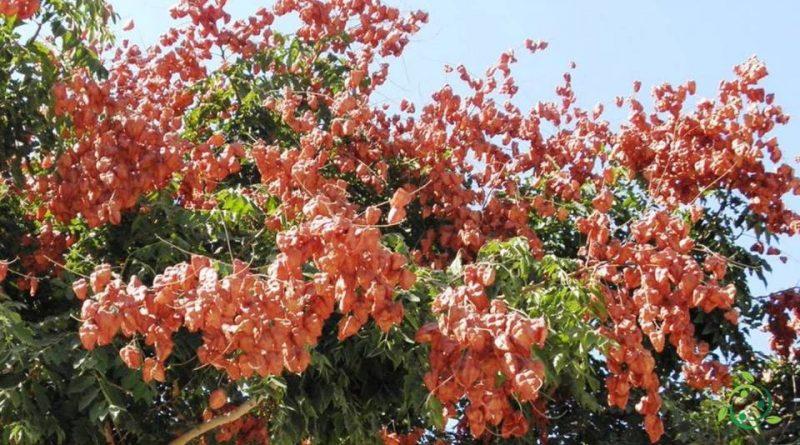Come si coltiva l'Albero dorato della pioggia