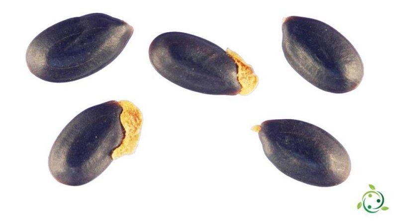 Eleosoma