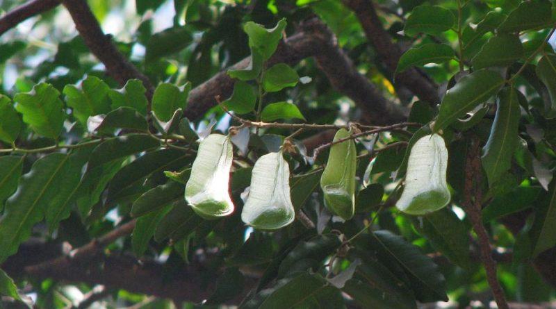 Myroxylon balsamum