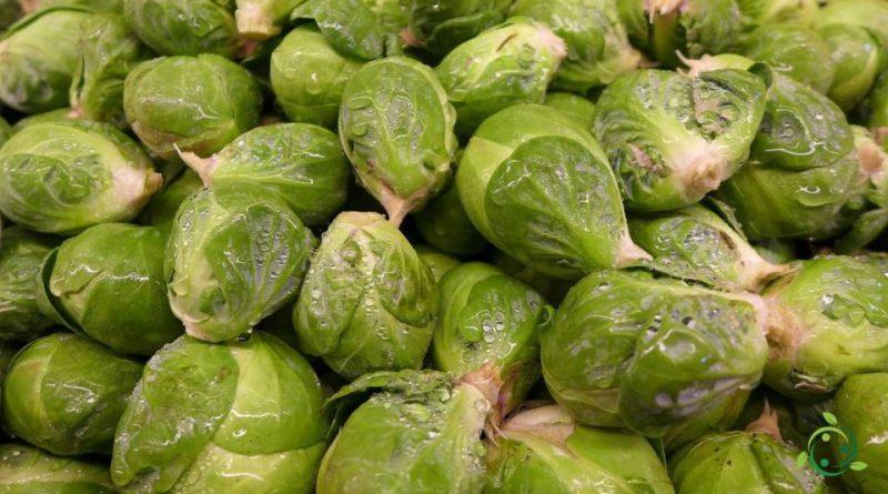 Valore nutrizionale dei cavoletti di Bruxelles
