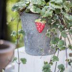 zinkkruka jordgubbe grön hängande växt