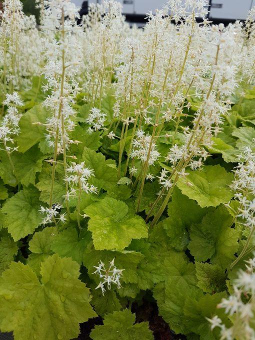 spetsmössa vit avlång blomma