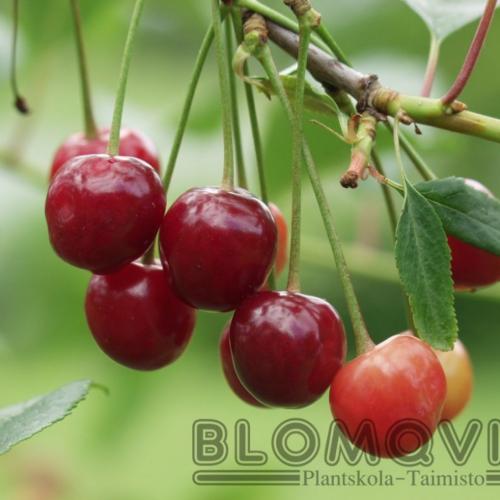 lettisk låg körsbärsbuske