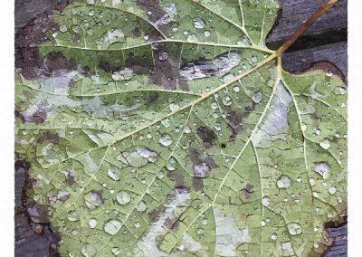 Dagg på löv