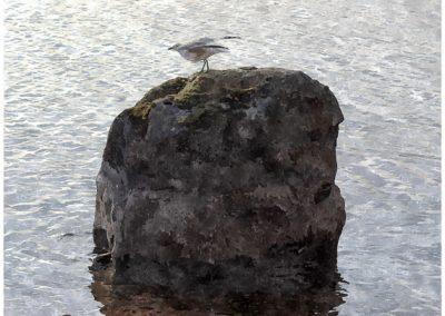 Mås på sten