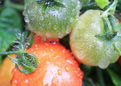 Tomatodling2