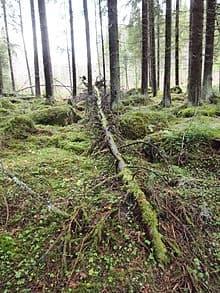 Fallen tree2