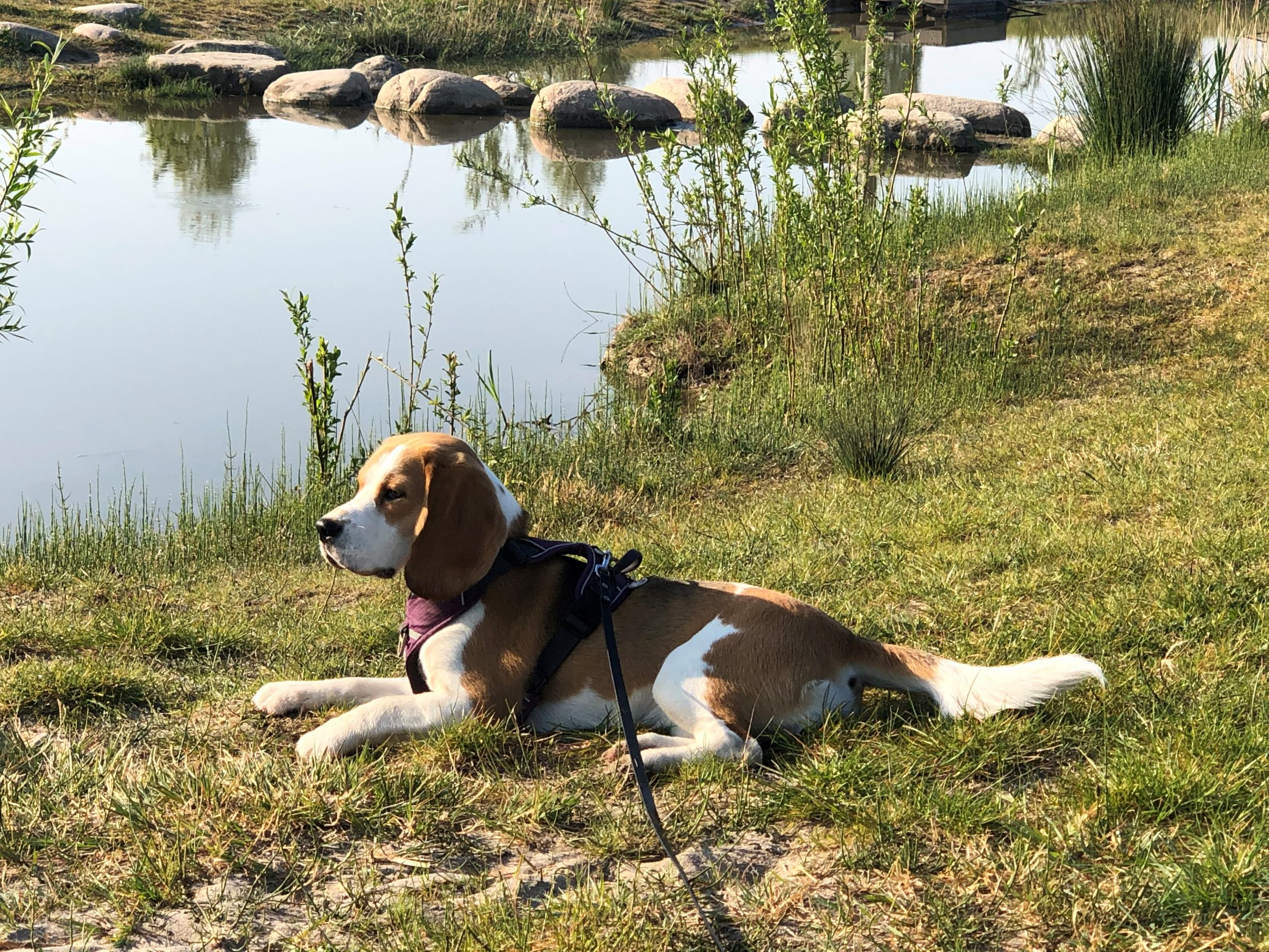 DogTalk beagles beagle puppy