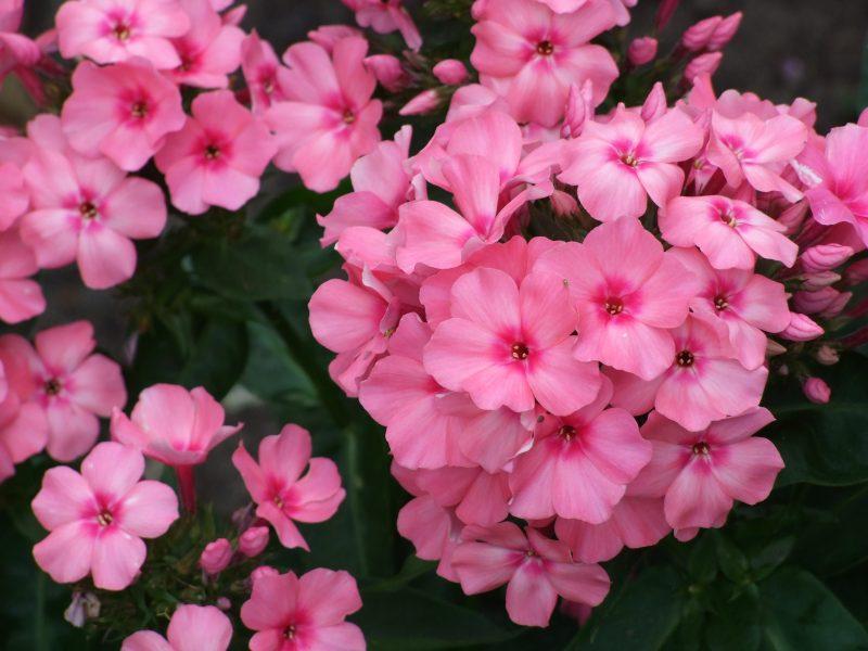 Phlox paniculata 'Pink Flame'