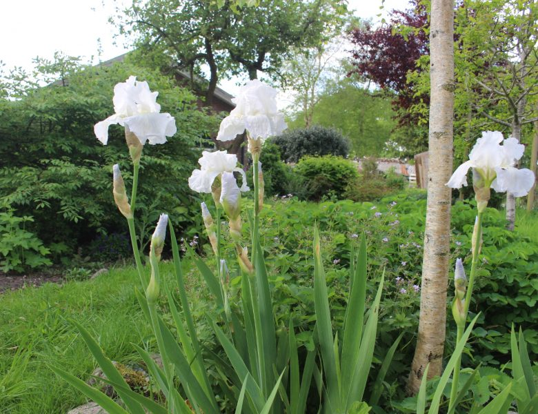 Iris germanica 'White Knight'