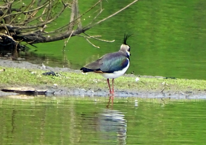 Northern Lapwing (14 april 2014, Renkum, the Netherlands)