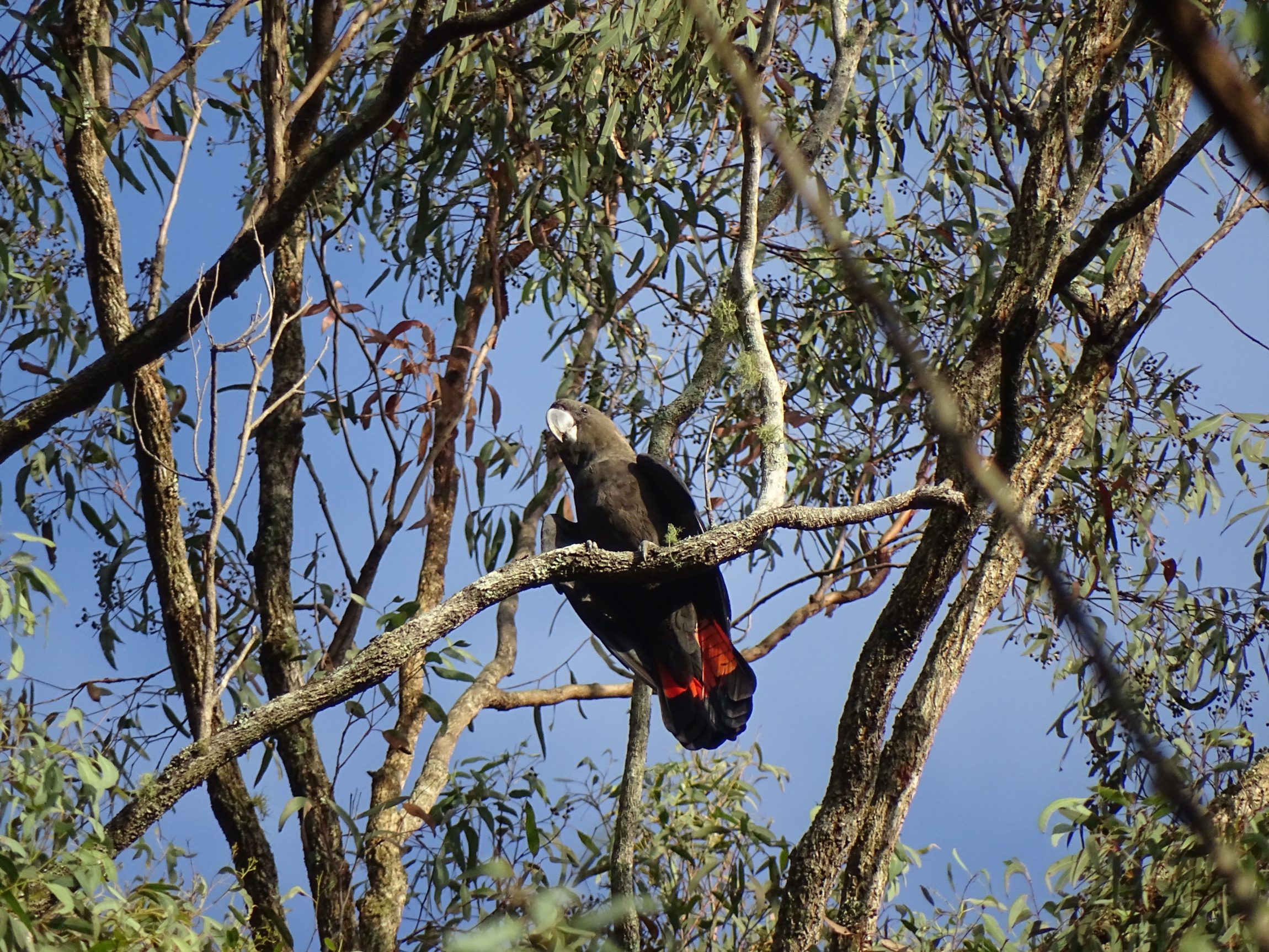 Red-rumped Parrot (Psephotus haematonatus)